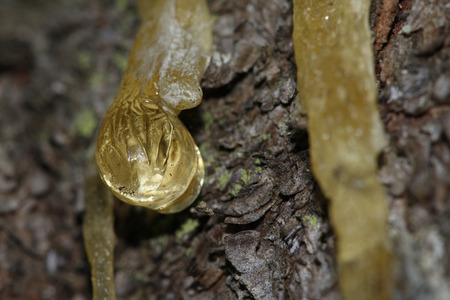The yellow drop of resin on a tree