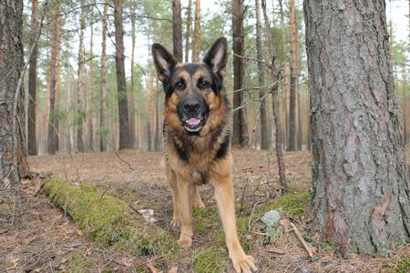 german shepherd dog: German shepherd dog in beautiful spring day