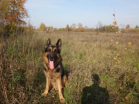 german shepherd dog: German shepherd dog in sunny autumn day