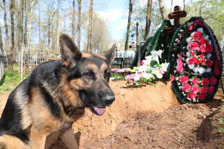 german shepherd dog: German shepherd dog near the grave of the owner Stock Photo