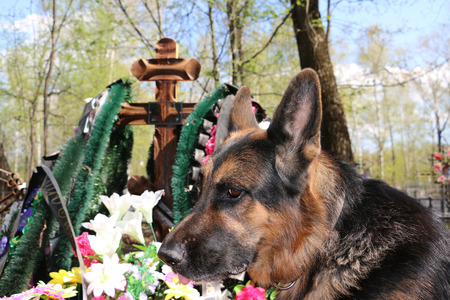 shepherd dog: German shepherd dog near the grave of the owner Stock Photo
