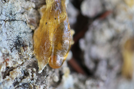 outflow: The yellow drop of resin on a tree