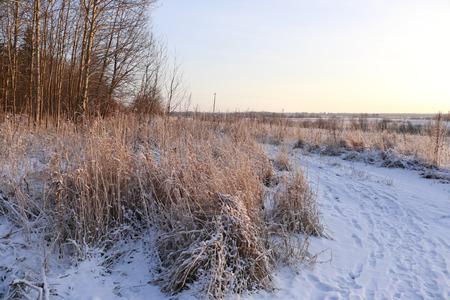 winter sunrise: Grass in the snow and winter sunrise