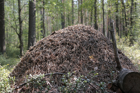 anthill: Anthill in the forest in summer day