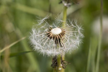 Flower dandelion in a nice summer day
