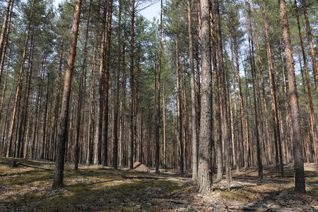thicket: Pine forest in a nice summer day Stock Photo