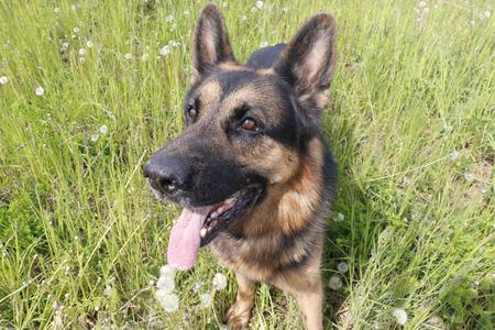 obediencia: Dog german shepherd on the field in summer day
