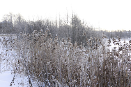 winter sunrise: Grass in the snow and winter sunrise