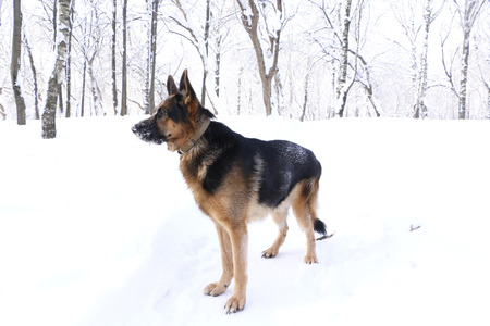 obediencia: Dog german shepherd in a winter day Foto de archivo