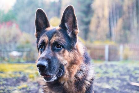 obediencia: Perro pastor alemán en el pueblo en el día de verano