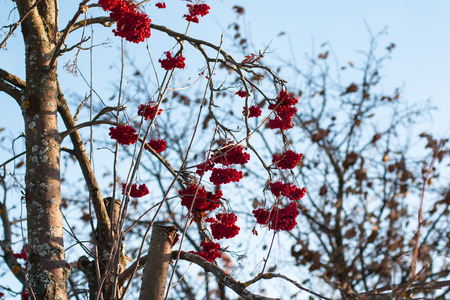 red berries: Rowan tree with red berries in a winter village Stock Photo