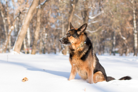 Dog german shepherd in a park in a winter day Stock Photo