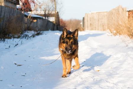 Dog german shepherd in a village in a winter day