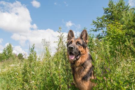 Dog german shepherd and grass around in a summer day