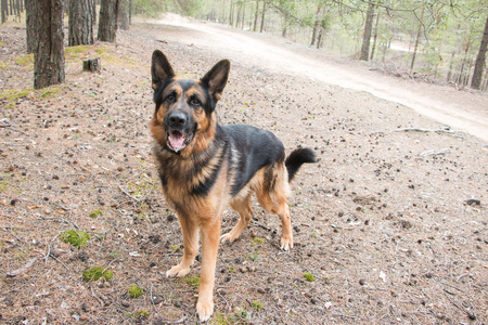 Dog german shepherd in the forest in a nice day