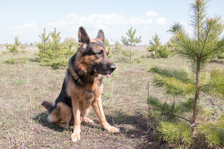 Dog german shepherd in a nice spring day