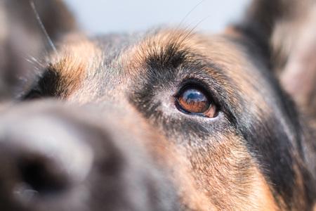 Brown attentive eyes of a dog German shepherd