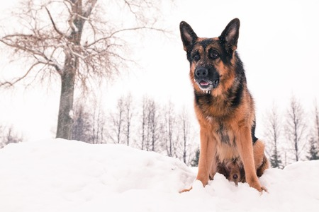 Dog german shepherd in a winter day Stock Photo