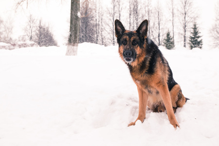 animal practice: Dog german shepherd in a winter day Stock Photo