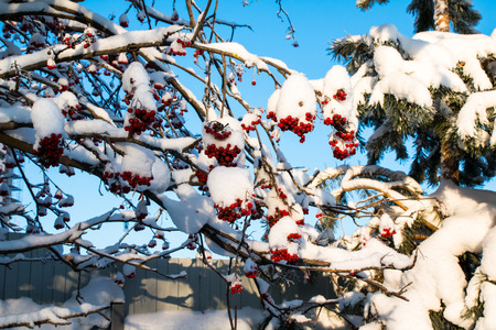 Rowan tree with red berries in a winter village Stock Photo