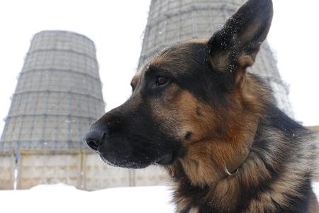 German shepherd dog is guarding an important object Stock Photo