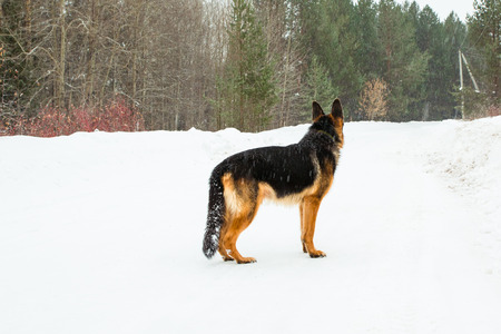 the defender: Dog german shepherd in a winter day Stock Photo