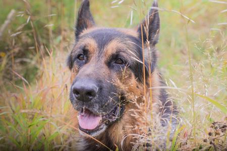 German shepherd dog in sunny autumn