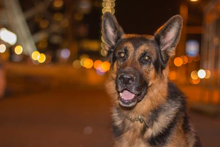 Dog german shepherd on the street in night city Stock Photo