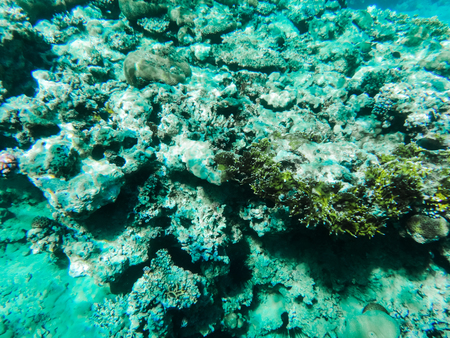Grey and green coral under water in Red sea Stock Photo