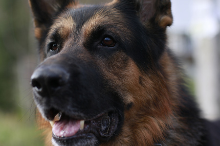 The muzzle and nose of the dog of breed a German shepherd