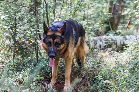 Dog German Shepherd outdoors in a summer day