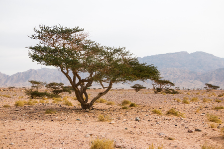 Trees in dry desert in a summer day Standard-Bild - 101365468