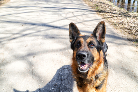 Dog German Shepherd on the road day of early spring Stock Photo