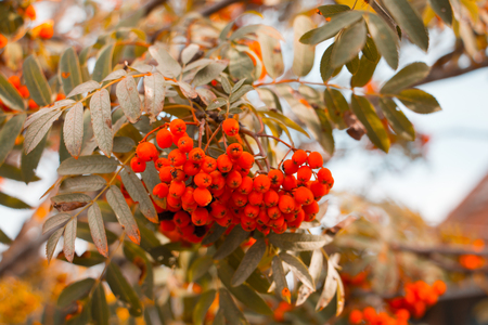 Rowan branches covered with beautiful red berries and yellow leaves