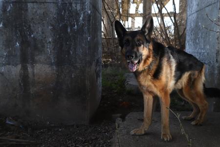 Dog German Shepherd near columns outdoors in a sunny day