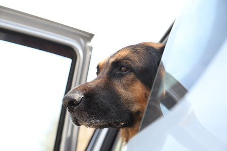Muzzle of the dog German Shepherd in the car