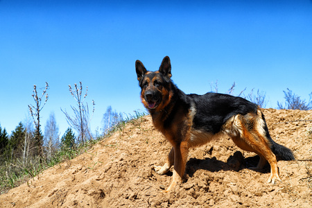 Dog German Shepherd on the sand outdoors in a sunny spring day