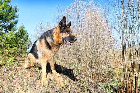Dog German Shepherd outdoors in a sunny summer day