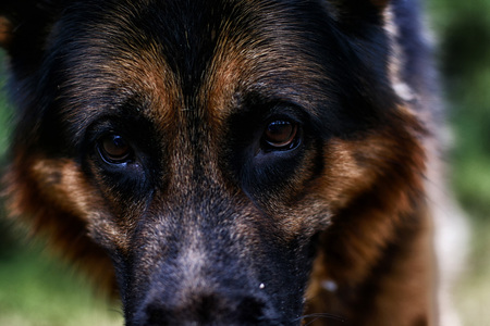 Muzzle of a Dog German Shepherd outdoors. Attention to the eyes Stock Photo