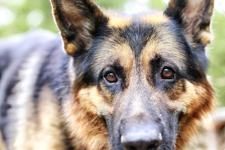 Muzzle of a Dog German Shepherd outdoors. Attention to the eyes Фото со стока