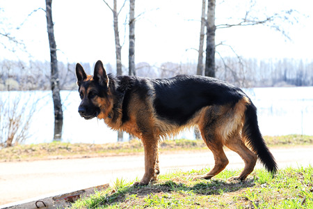 Dog German Shepherd on the road day of early spring Фото со стока