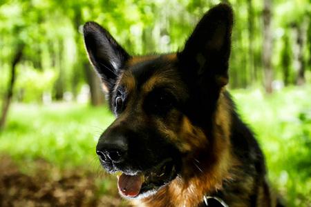 Muzzle of a Dog German Shepherd outdoors
