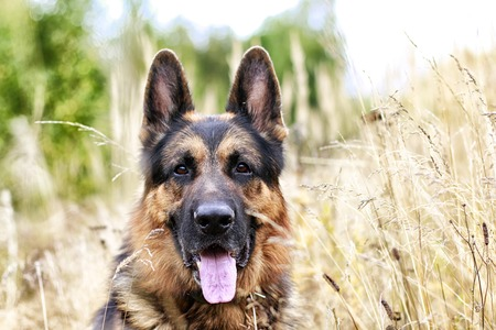 Dog German Shepherd in a field and yellow grass in an autumn day 免版税图像