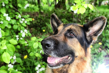 Dog German Shepherd in a park near branch of blossoming apple tree in a summer day Archivio Fotografico