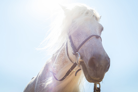 White horse head with a long mane and blue sky with sun buckground. Close up Stock Photo