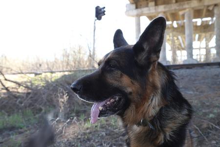 Dog German Shepherd under bridge near columns outdoors in a nice day Stock Photo