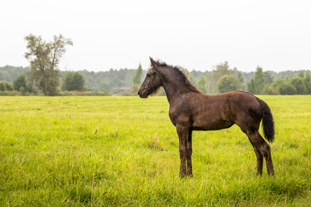 Little foal outdoors in the field in a day during rain Stock Photo