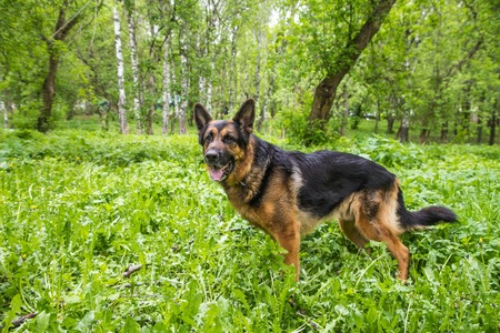Dog German Shepherd in a forest in a summer day