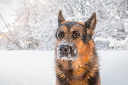 Dog German Shepherd in a winter day and white snow arround Imagens