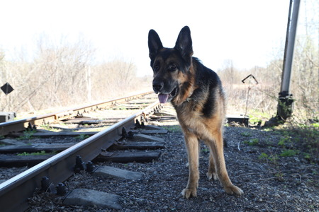 Dog German Shepherd on the railway road in a spring sunny day